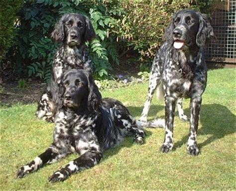 large munsterlander puppies large munsterlander breed information and pictures