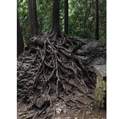 This Trees Roots Are Going Down A Rock  Mildlyinteresting