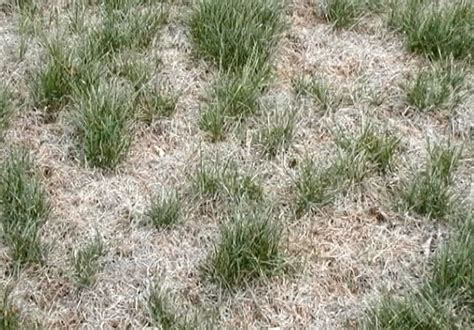 sod webworms servicemaster lawncare fredericton
