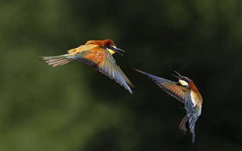 bee eater wallpapers first hd wallpapers bee eater wallpapers backgrounds