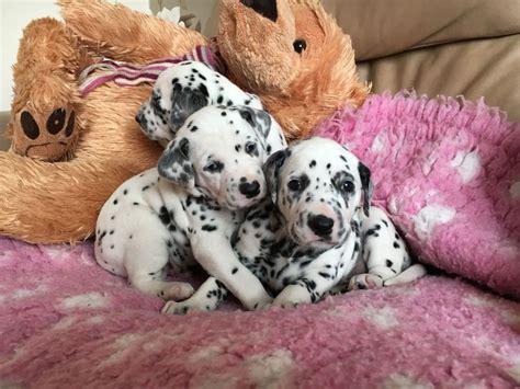 dalmatian puppies for adoption dalmatian puppies for adoption animals dalmatian puppies for adoption i strive to