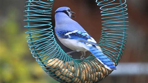 do blue jays like peanuts blue at peanut wreath feeder