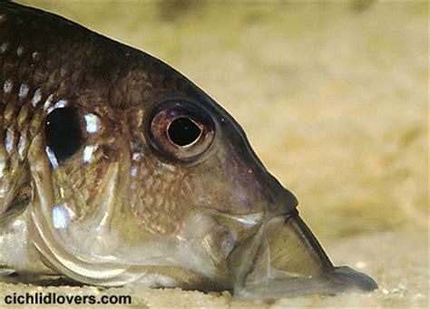 Gnathochromis permaxillaris