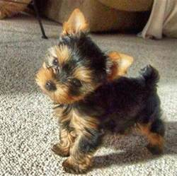 grown yorkie grown yorkie search wish list for after college