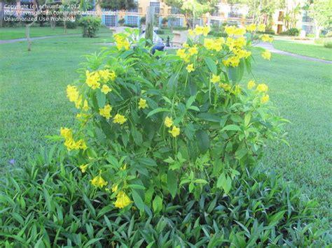 Yellow Garden Flowers Identification Plant Identification Yellow Shrub With Tubular Flower And Thin Seed Pod 1 By Echiumfan