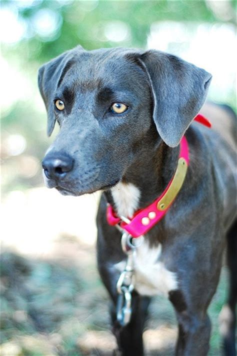 blue lacy blue lacy animals