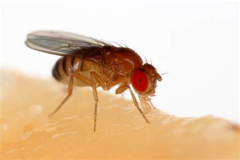 drosophila melanogaster wiktionary