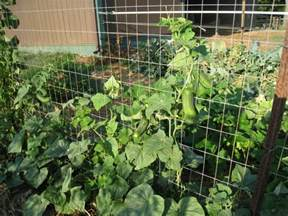 backyard farming trellis cucumbers