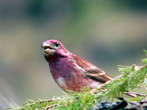 house finch purple finch fred walsh photos october 2006