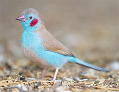 uccelli esotici da gabbia uccelli da gabbia cordon