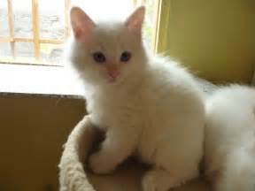 red ragdoll cat images amp pictures becuo