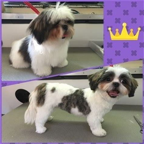 shih tzu puppy cut before and after adorable shih tzu hair styles