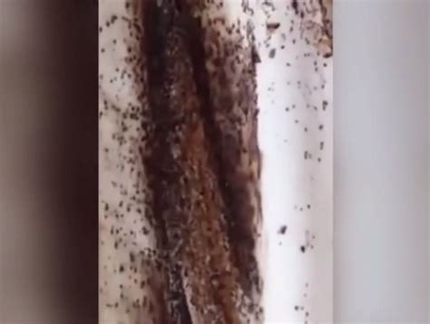 disgusting bugs infestation this disgusting video of a bed bug infestation will