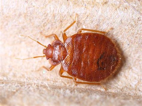 tiny bed bugs how to get rid of kill bed bugs diy bed bug treatment