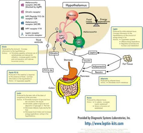 neuropeptide y supplement leptin causes symptoms treatment leptin