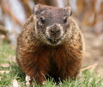 regarder groundhog day les 25 meilleures id 233 es de la cat 233 gorie groundhog pictures