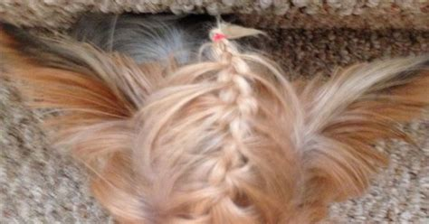 handouts on how to braid hair fence braid yorkie yorkie pinterest who cares