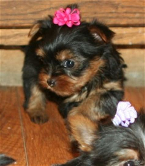 teacup yorkies for sale in columbia sc puppies for sale in south carolina petsale inc
