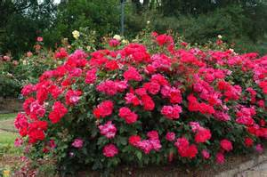 knockout colors knock out 174 roses colors variety and care the planting