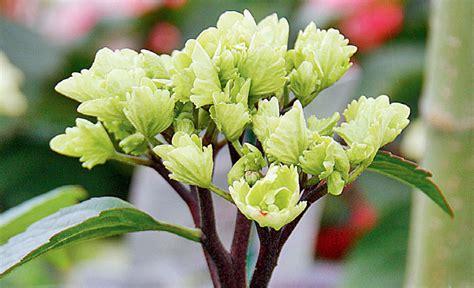 Garten Pflanzen Saurer Boden by Hortensien Pflegen Pflanzen S 228 En Pikieren Selbst De
