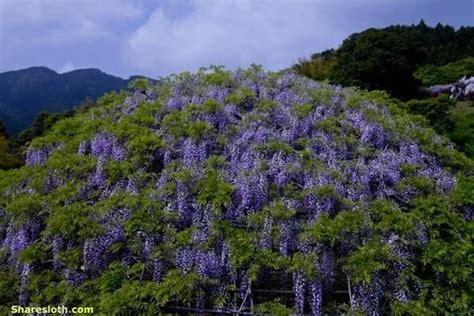 kawachi fuji garden wisteria flower tunnel japan sharesloth
