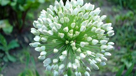 il fiore bianco fiore bianco sfondi desktop gratis