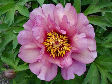 yankee doodle dandy flower southern peony 2016 peony hybridizer don r smith