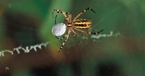 Yellow Brown Intl what of spider is brown with a yellow stripe its