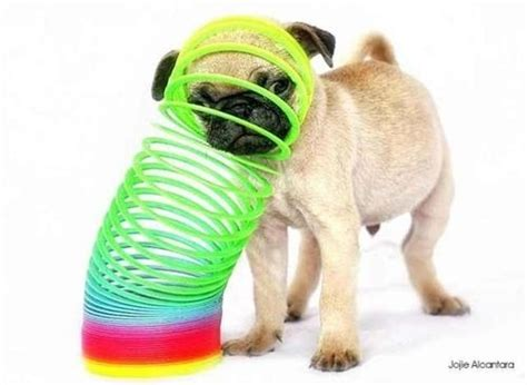 stuck pug 25 best images about pets on pet accessories pets and diy and crafts