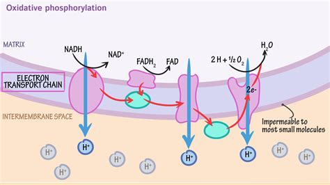 diagram of electron transport diagram of the electron transport chain choice image how