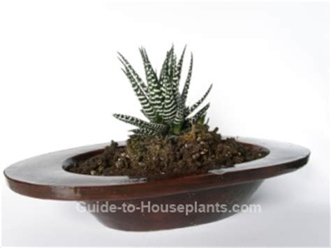 haworthia collection 3 plants easy to grow hard by haworthia species easy succulent house plants picture