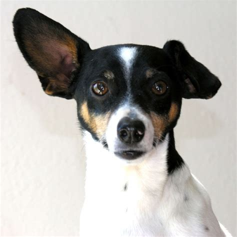 rat terrier rat terrier puppy rat terrier breed information