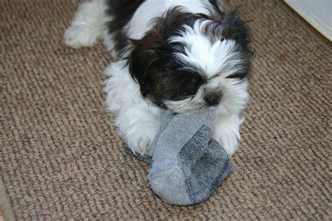 shih tzu 12 weeks akc shih tzu puppies bud at 12 weeks the shih tzu site shih tzu puppies