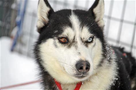 husky con occhi diversi alessio di leo diario di viaggio sleddog ad arnoga