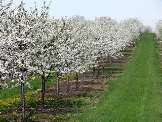 Cherry Orchards In Door County Wi by 1000 Images About Door County Blossoms On