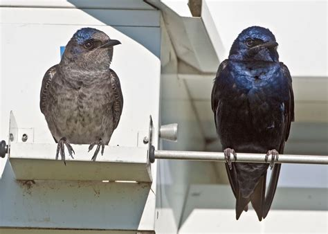 surfbirds com purple martins and other swallows