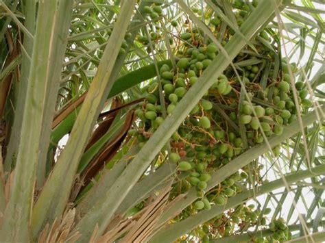 Bibit Pohon Siwak date palm fruits feedipedia