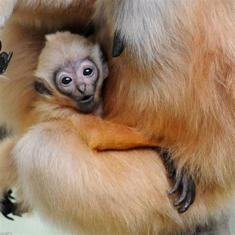 baby gibbon monkey a new baby gibbon swings into brookfield zoo zooborns