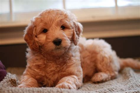 goldendoodle puppy potty 1000 images about 2013 goldendoodle puppies on