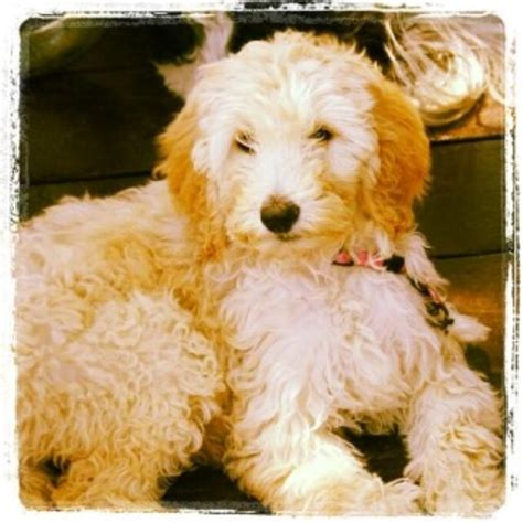 goldendoodle puppy adoption goldendoodle puppies and dogs for sale and adoption
