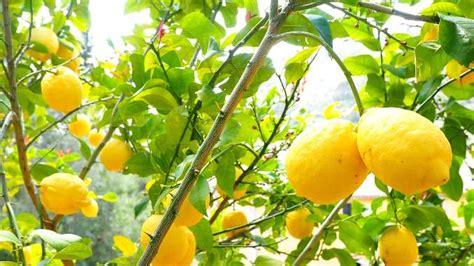 Comment Avoir Des Citrons Sur Un Citronnier by Site Sant 233 Bienfaits Et Vertus Alimentation Saine Mes