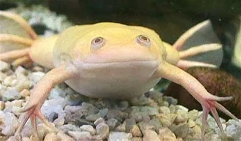 The Jungle Store: Albino Frogs
