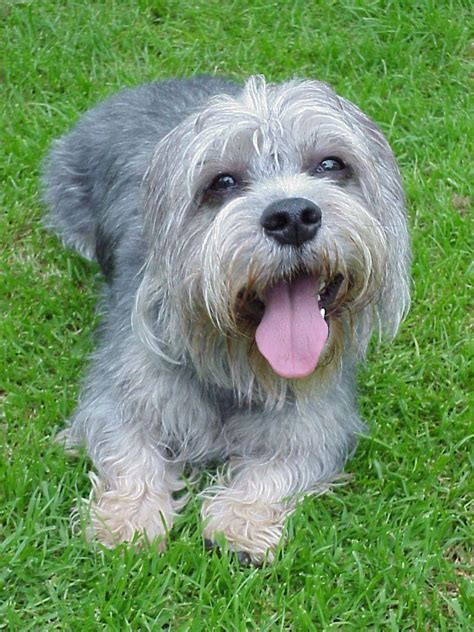 dandie dinmont terrier puppies dandie dinmont terrier breed guide learn about the dandie dinmont terrier