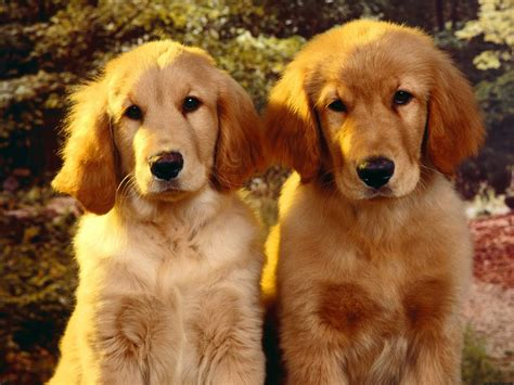 dogs like golden retrievers puppies