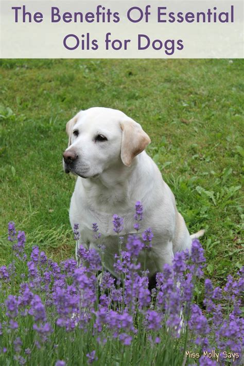 essential oils for dogs the benefits of essential oils for dogs miss molly says