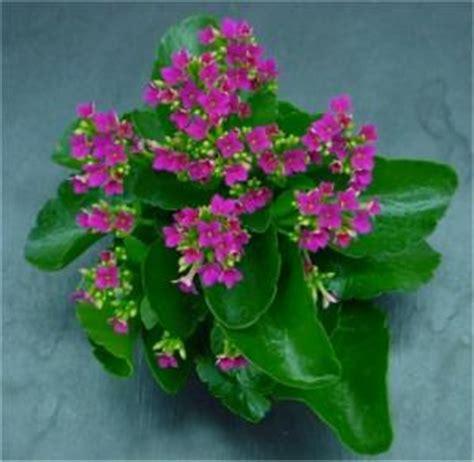 kalanchoe is poisonous to pets poisonous plant for pets