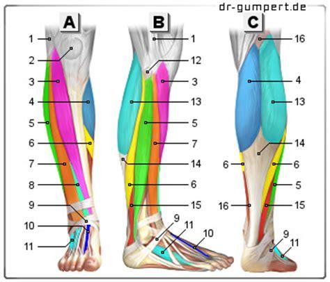 innere beinmuskulatur abbildung muskeln unterschenkel