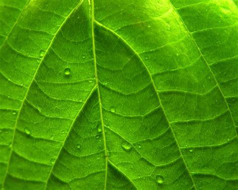 imagenes hojas verdes vivid verde hoja fondos de pantalla vivid verde hoja