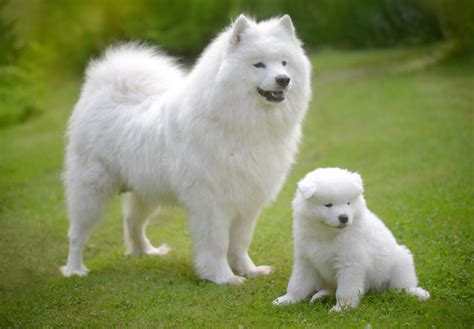 samoyed for sale samoyed puppies for sale akc puppyfinder