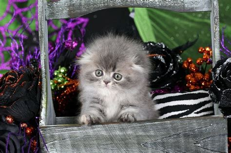 17 Best images about persian kittys on Pinterest   Persian